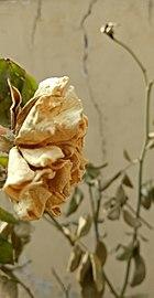 White rose, craked wall, beautifull pic.jpg