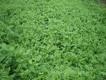 English: cover crops: vicia Deutsch: Zum Zweck...