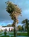 Widok zza drzewa na Ratusz w Opatowie - panoramio.jpg