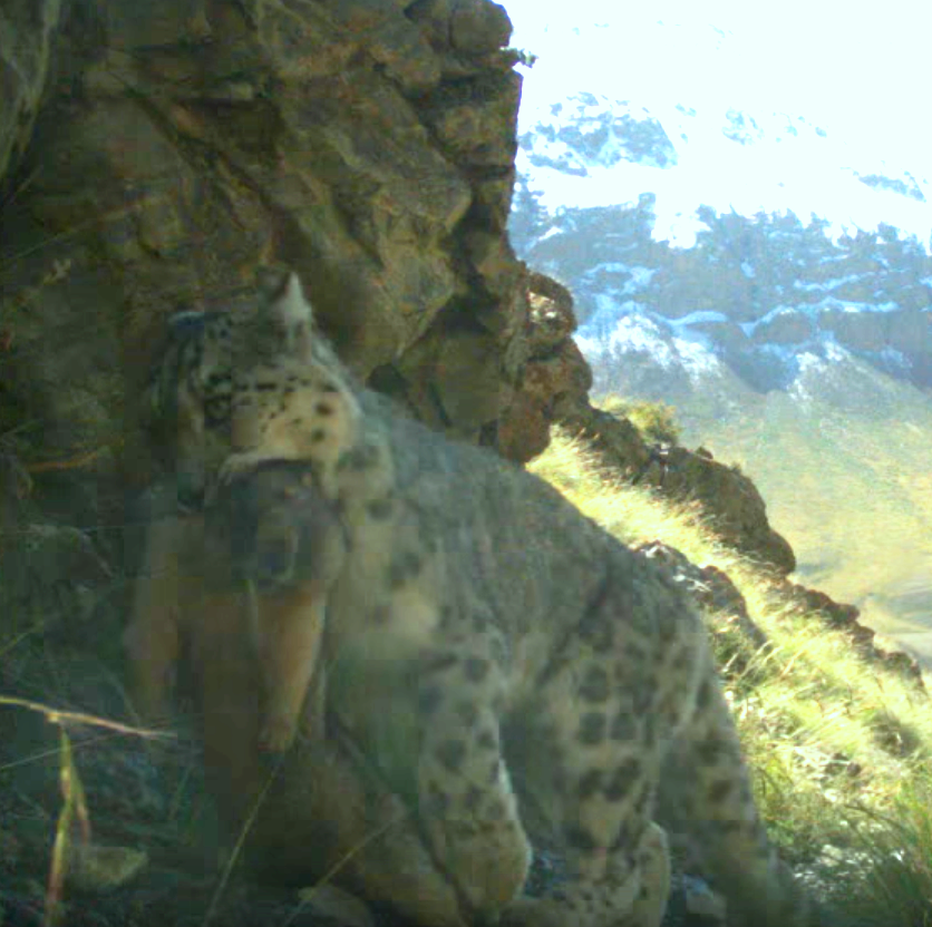 Wild Snow Leopard Goes Grocery Shopping