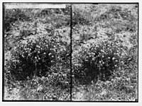 Wild flowers of Palestine. Yellow restharrow (Ononis Natrix L.). LOC matpc.02422.jpg