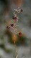 Winter-lingonberry.JPG