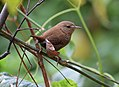 Winter Wren (29428561074).jpg