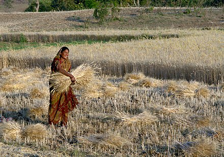 Woman harvesting wheat, Raisen district, Madhya Pradesh, India Woman harvesting wheat, Raisen district, Madhya Pradesh, India ggia version.jpg