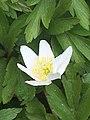 Wood Anemone (Anemone nemorosa) 2932849 - 06.JPG