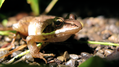 Wood frog with green reflection (6067685999).png