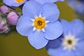 Woodland Forget-me-not (Myosotis sylvatica) (16602188864).jpg
