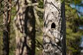 Woodpecker made hole on a dead pinetree at Kivitunturi, Savukoski, Lapland, Finland, 2021 June.jpg