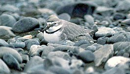 Wrybill sitting on eggs.jpg