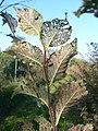 Xanthogaleruca luteola 20060905 530.jpg