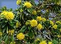 Xanthostemon chrysanthus1.jpg