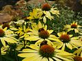 Yellow-Cone-Flowers-Bees - West Virginia - ForestWander.jpg