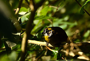 Yellow-eared bulbul - Image: Yellow eared Bulbul Sri Lanka