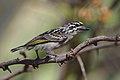 Yellow-fronted tinkerbird, Pogoniulus chrysoconus, at Rust de Winter Dam, South Africa. (32217881188).jpg