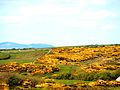Yellow Flowering Bushes Gorse.jpg