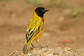 Yellow backed weaver1.jpg