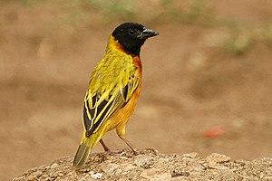 Black-headed weaver - Image: Yellow backed weaver 1
