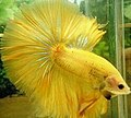 Yellow halfmoon Betta splendens.jpg