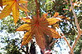 Yellow leaves Adelaide.jpg