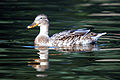 Young duck (2934327605).jpg
