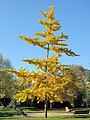 Young ginkgo of the parc de l'Aulnaye.jpg