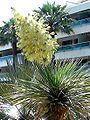 Yucca rostrata inflorescence.jpg