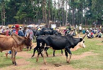 Zebu - Zebu market in Madagascar