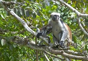 Zanzibar red colobus - Image: Zanzibar Colobus
