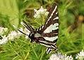 Zebra Swallowtail - Eurytides marcellus, Mason Neck, Virginia (35477400636).jpg