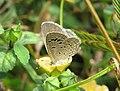 Zizina otis - Lesser Grass Blue - Begur Butterfly Survey 1.jpg