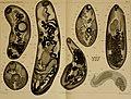 Zoologische Jahrbücher (1905) (14594633858).jpg