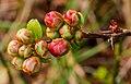 Zwellende bloemknoppen van Chaenomeles x superba 'nicolina' (chinese kwee). Locatie. Tuinreservaat Jonkervallei 01.jpg
