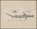 Zygaena mokarran - 1700-1880 - Print - Iconographia Zoologica - Special Collections University of Amsterdam - UBA01 IZ14100065.tif
