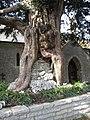 """Built-up"" tree, Chapel Allerton churchyard (geograph 2381458).jpg"