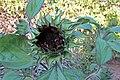 'Red Wave' sunflower IMG 5475.jpg