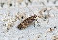 (0779) Bryotropha affinis (14540585878).jpg