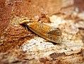 (0938) Agapeta zoegana (27520406580).jpg