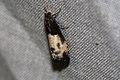 (1174) Epiblema cynosbatella (3532985309).jpg