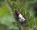 (1174) Epiblema cynosbatella (7285061648).jpg