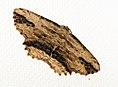 (1936) Waved Umber (Menophra abruptaria) (5628701960).jpg