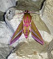(1991) Elephant Hawk-moth (Deilephila elpenor) (15111727429).jpg