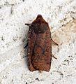 (2259) Dark Chestnut (Conistra ligula) - Flickr - Bennyboymothman.jpg