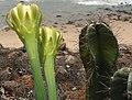 (Cereus hildmannianus) cactus at Tenneti park 03.JPG