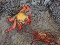 (Grapsus grapsus) Puerto Ayora Galápagos Islands pic. a4.JPG