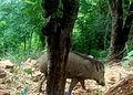(Sus scrofa) Wild Boar spotted at Tirumala hills.JPG