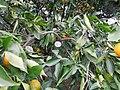 «Дерево дружбы» с прививками, сделанными гостями СССР и в честь исторических дат, улица Фабрициуса, 2, Хостинский район, Сочи.jpg