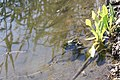 Лягушки в воде.jpg