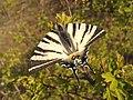 Лястовича опашка (пеперуда).jpg