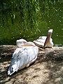 Николаевский зоопарк. Пеликаны. - panoramio.jpg