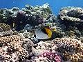 Нитеперая рыба-бабочка, Chaetodon auriga..DSCF0281ВЕ.jpg
